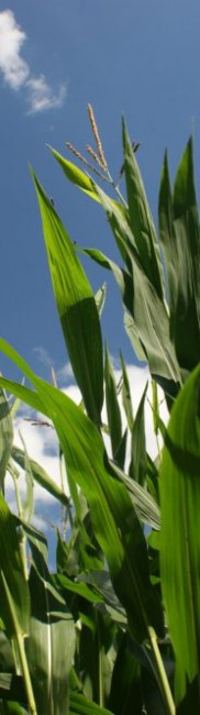 Silomais – energiereiches Grundfutter für Kühe, Jungrinder und Biogasanlage