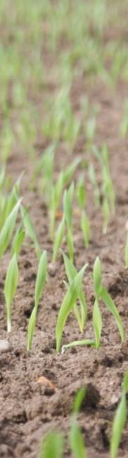Frisch aufgelaufener Getreidebestand