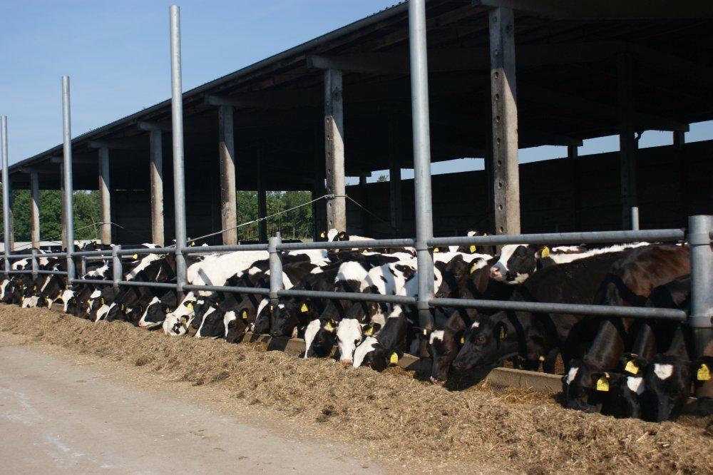 Jungrinder in Offenstallhaltung im Ortsteil: Leetze – zukünftige gesunde leistungsfähige Kühe