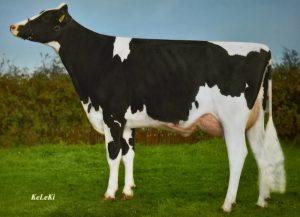 Kuh für Katalog fotografiert